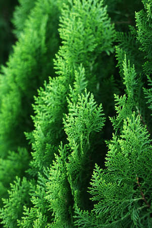 cypress tree: Cypress Tree