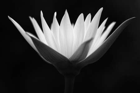 Fleur de Lotus  Banque d'images - 7845994