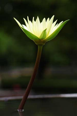 Beautiful blooming yellow water lily Stock Photo - 7845996