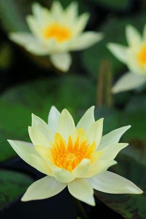 Beautiful blooming yellow water lily Stock Photo - 7845999