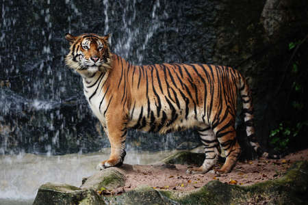 Large striped tiger photo