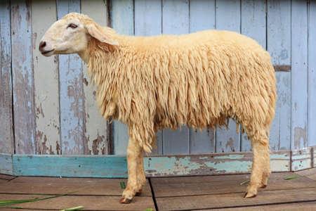 Sheep in the farm  photo