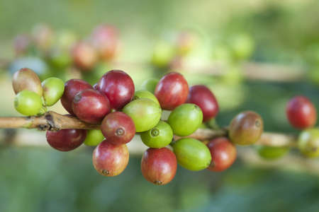 Coffee beans on plant Stock Photo - 8319756