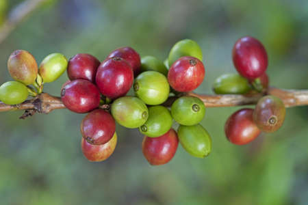 Coffee beans ripening on plant Stock Photo - 8319806