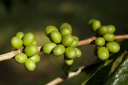 Coffee beans ripening on plant Stock Photo - 8319829