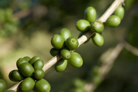 Coffee beans ripening on plant Stock Photo - 8319794