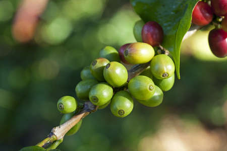 green bean: Coffee beans ripening on plant