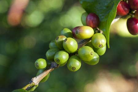 frijoles rojos: Granos de café maduración en planta