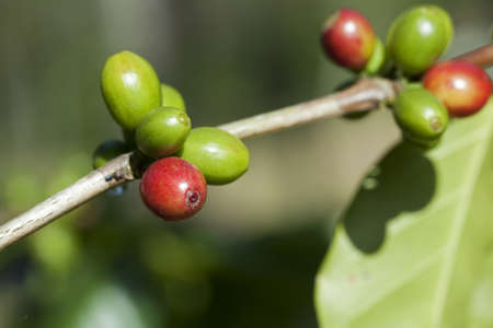 Coffee beans ripening on plant Stock Photo - 8319793