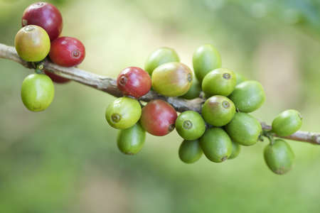 Coffee beans ripening on plant Stock Photo - 8319808