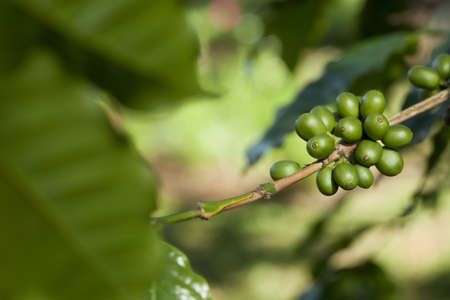 Green coffee beans photo