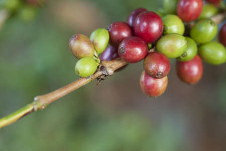 Coffee beans on plant photo