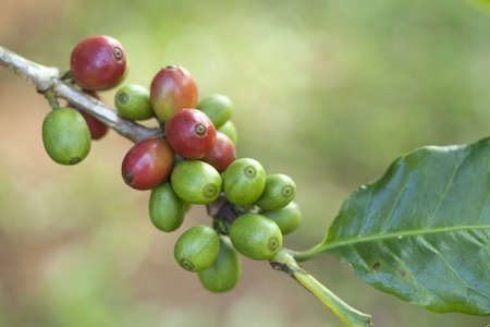 Coffee beans on plant Stock Photo - 8427582
