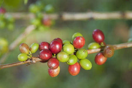 Coffee beans on plant Stock Photo - 8427585