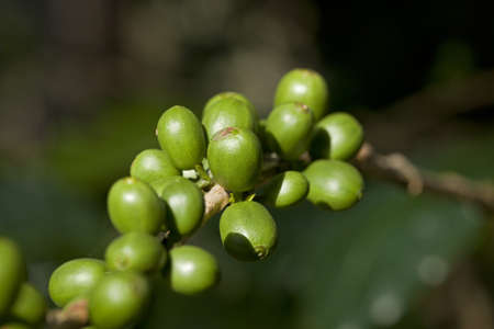 Green coffee beans Stock Photo - 8439636