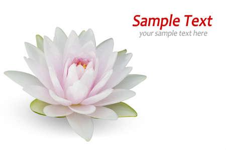 flor de loto: Waterlily en blanco