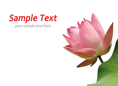 Pink waterlily on white photo