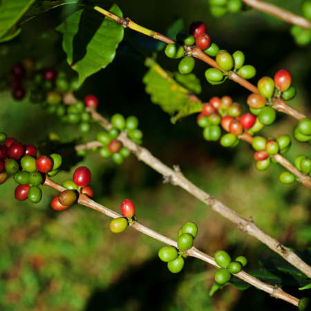 Coffee beans on plant Stock Photo - 8451082