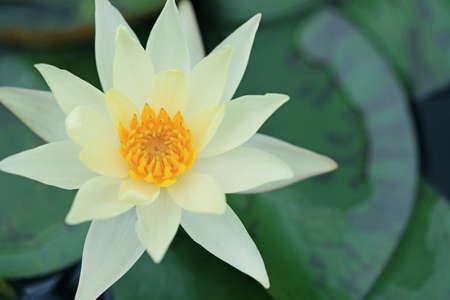 Yellow Lotus photo
