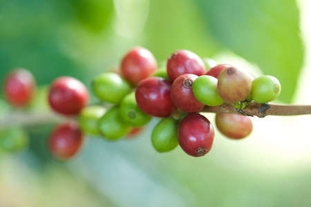 Coffee beans on plant Stock Photo - 8598046