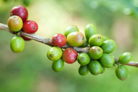Coffee beans on plant Stock Photo - 8598047