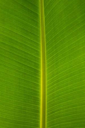 Arrière-plan de feuilles de banane Banque d'images - 8647798