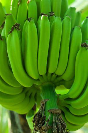 Green bananas photo