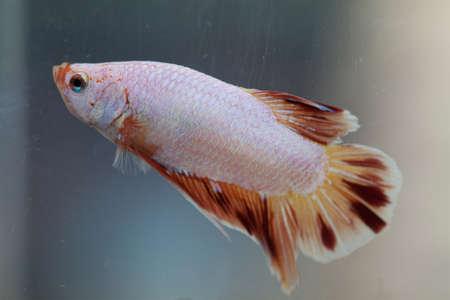 Siamese fighting fish Stock Photo - 8805821