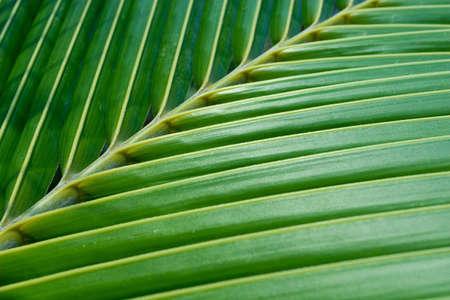 Green coconut leaf photo
