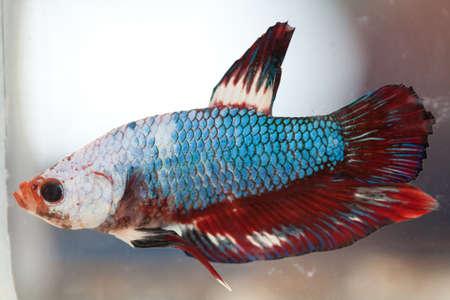 Siamese fighting fish Stock Photo - 8921334
