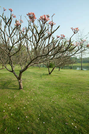 Plumeria tree with green grass photo