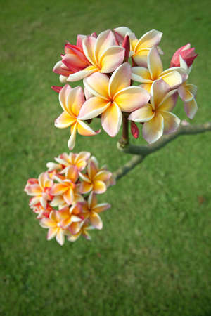 Yellow plumeria flowers photo