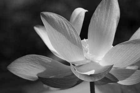 Black & white water lily Stock Photo - 9347609
