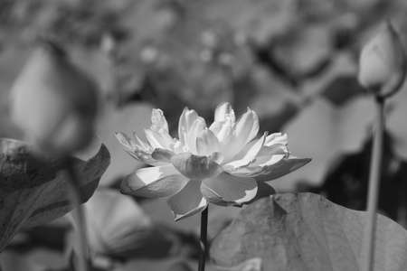 Black & white water lily Stock Photo - 9347610