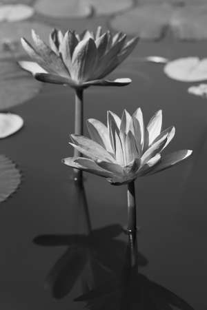 Black & white water lily photo