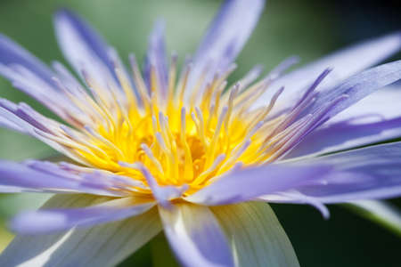 Blue water lily photo