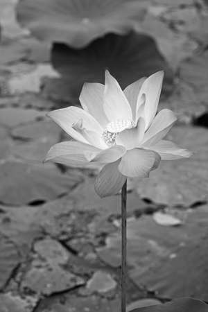 White waterlily Stock Photo