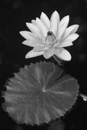 white waterlily photo