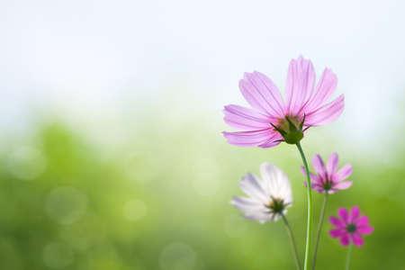 flowers horizontal: Cosmos flowers on spring background Stock Photo
