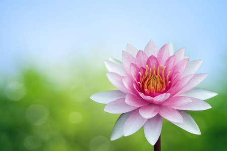 Red lotus on spring background Stock Photo