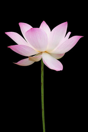 Pink lotus isolated on black