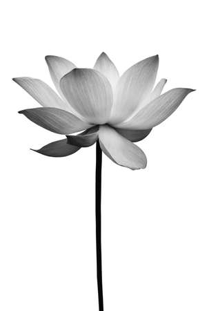 Lotus in black and white isolated on white Stock Photo