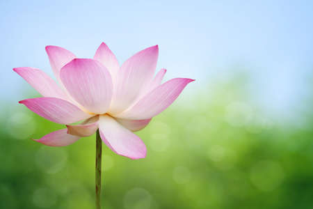 Lotus blossom Stock Photo - 9576571