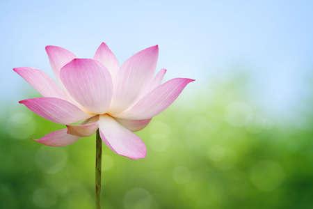 lily pad: Lotus blossom