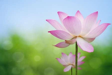 핑크 로터스 스톡 콘텐츠