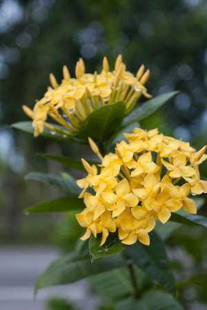 Yellow Ixora Flowers at Full Bloom Stock Photo