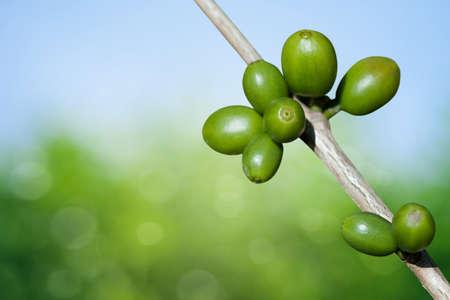 planta de cafe: Los granos de café creciendo