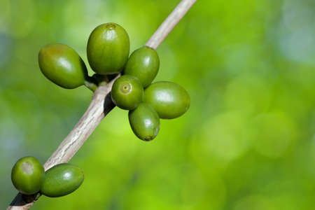 Coffee beans growing Stock Photo - 9667880