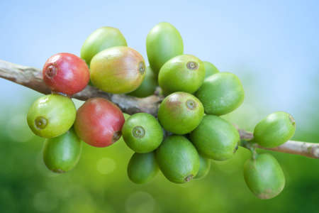Coffee beans growing Stock Photo - 9667883