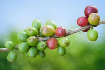 green bean: Coffee beans growing